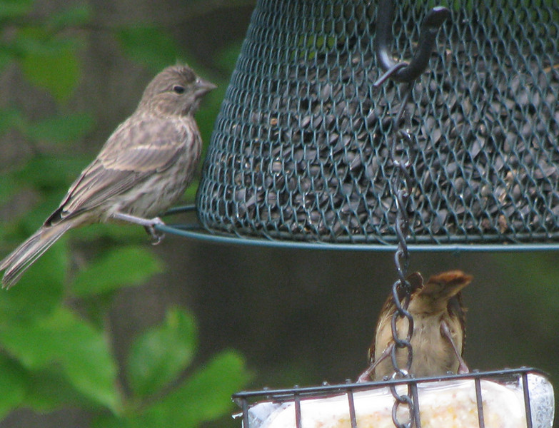 House Fince Fledgling Says What A Funny Way To Eat Dinner To The Carolina Wren