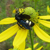 Green-headed Coneflower With Double-banded Scoliid Wasp (Scolia bicinta) and Alianthus Moth