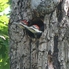 Pileated Woodpecker's Nest At Neighbor, Dotty Hopkins