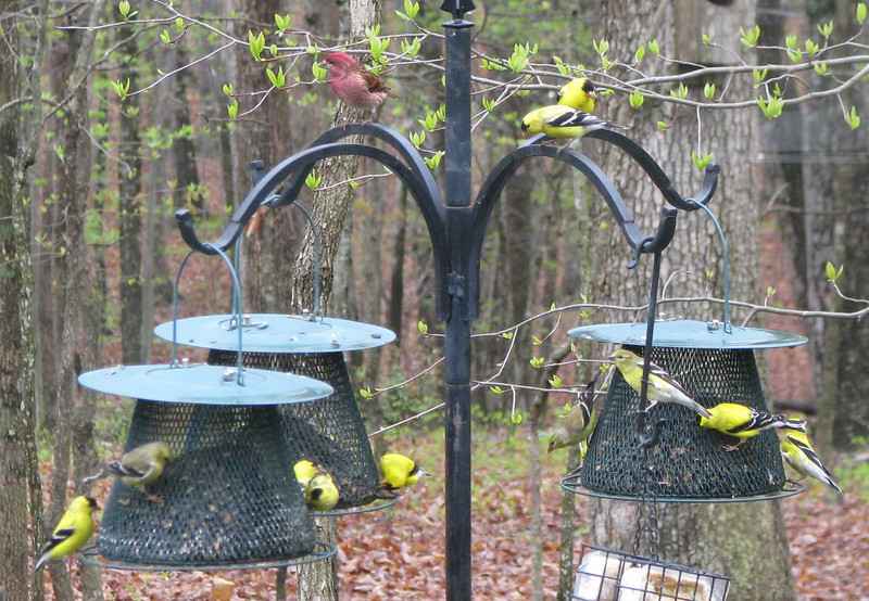 11 Goldfinches and 1 Purple Finch