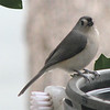Tufted Titmouse At Heated Bird Bath