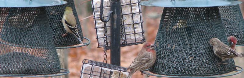 Finch Feeder Frenzy