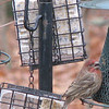 Finch Feeder Frenzy