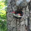 Male on Left Has Red Moustach, Female on Right Has Black - Pileated Woodpeckers