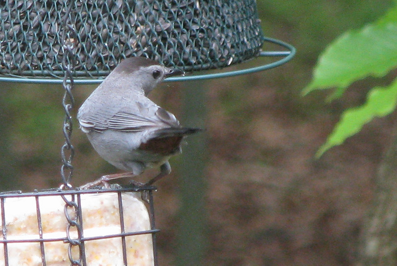 Cat Bird On Suet Feeder - Notice Cute Rust Coloring Under The Tail Feathers