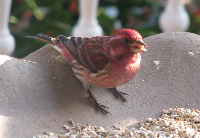 Male Purple Finch_2