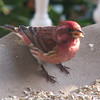 Male Purple Finch_2