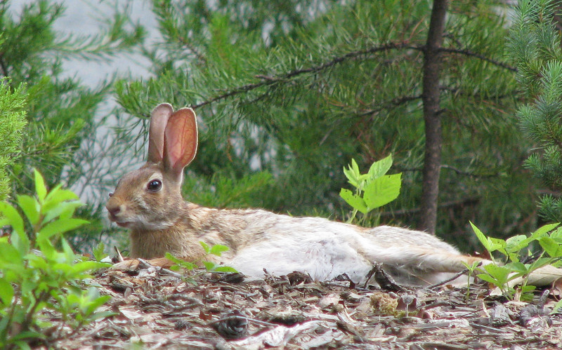Cottontail Rabbit Resting On Front Bank