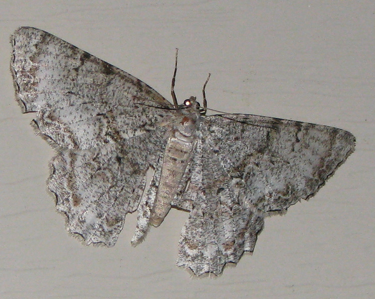 Moth On Front Porch at Night