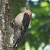 Red-bellied Woodpecker_2