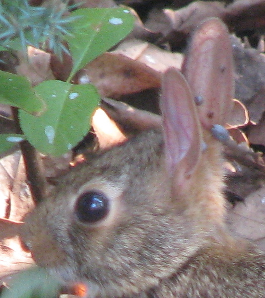 Baby Rabbit in Front Yard With Ticks In Ear