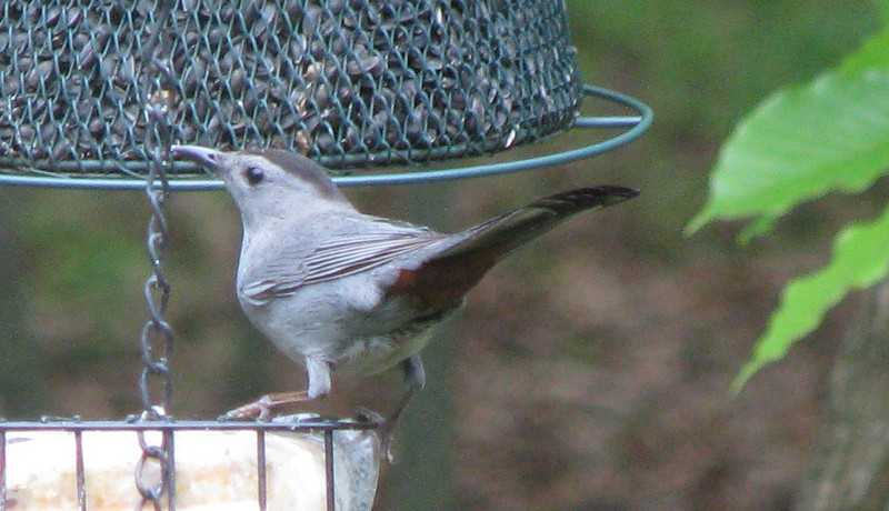 Cat Bird On Suet Feeder - Notice Cute Rust Coloring Under The Tail Feathers_2