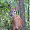 Male Deer In Backyard With Antlers