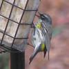 Yellow-rumped Warbler_2