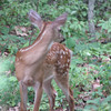 Young Fawn Backyard