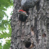 Pileated Woodpeckers - 2 Of The Nestlings - In Dotty Hopkins Tree
