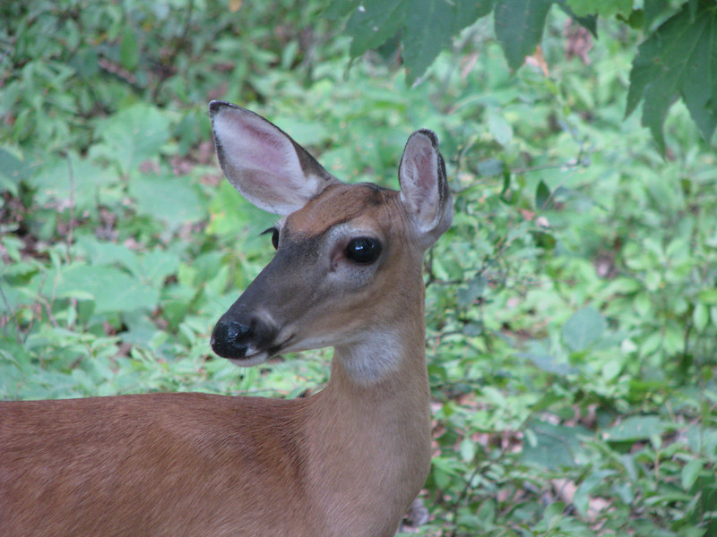 Backyard Doe - Look At Those Eyelashes
