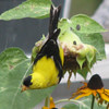 Goldfinch on Sunflower Eating Seeds