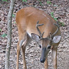 Young Deer Buck - Notice One Remaining White Stripe From His Fawn Coloring