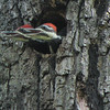 Hey Dad, Where's The Food - Male on Left and Female on Right Pileated Woodpecker Nestlings