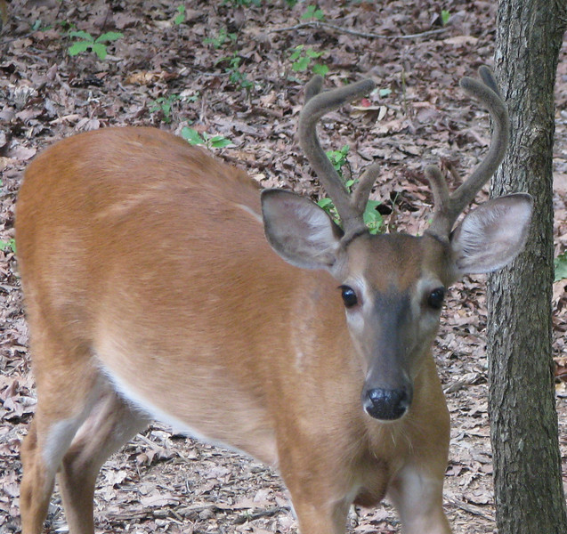 Young Deer Buck
