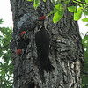 Pileated Woodpeckers - Mom Arrives To Feed
