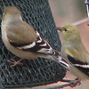 Goldfinches at Feeders