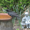 Crow - Is This Birdbath Big Enough For Me - Many Baths Already Taken Today
