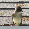 Eastern Phoebe On Deck Gutter