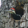 Pileated Woodpecker Nestling - Red Streak on Side Indicates Male