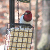Red-headed Woodpecker_4
