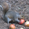 Squirrel Eating Apple_2