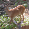 Backyard Deer_2