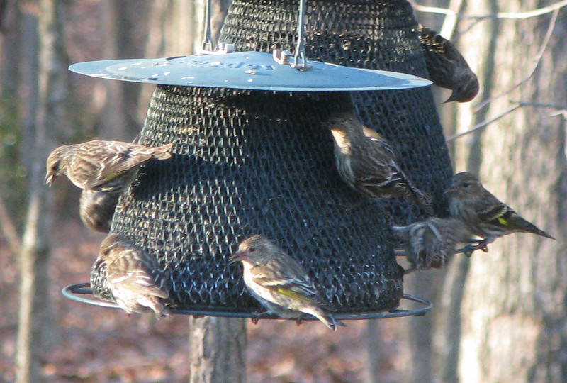 Variety of Finches on Feeders
