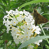 White Butterfly Bush With Skipper Butterfly