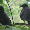 Juvenile Crows