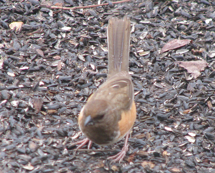 Rufous-sided Towhee, Female