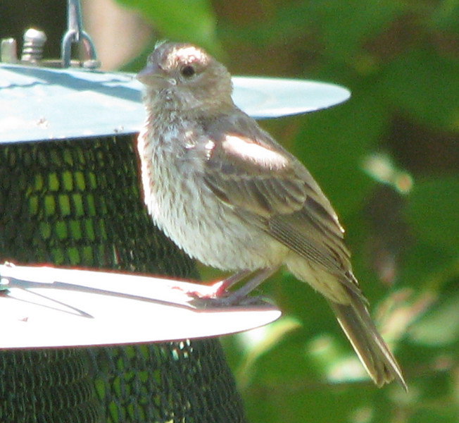 House Finch Fledgling