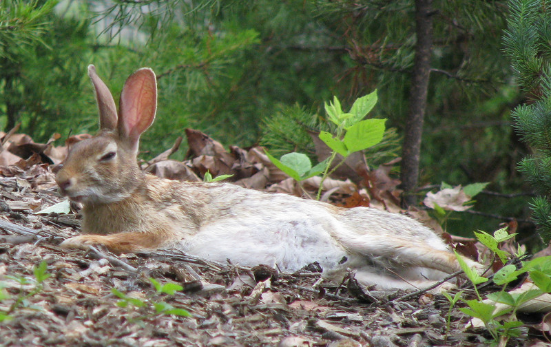 Snoozing Cottontail Rabbit On Front Bank
