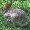 Cottontail Rabbit With Part Of Ear Missing