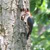 Red-bellied Woodpecker Drilling For Nest Or Bugs_2