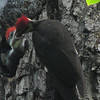 Pileated Woodpeckers - Mom Feeding
