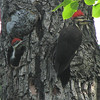 Pileated Woodpeckers - Mom, Don't You Have Any More