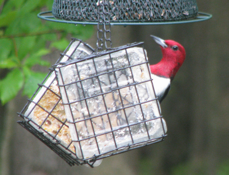 Peek-a-Boo Red-headed Woodpecker