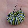 Monarch Caterpillar Curled In Randal's Hand