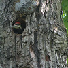 Pileated Woodpecker Nestling Takes a Peek At Dotty Hopkins Next Door