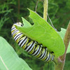 Monarch On Milkweed Eating