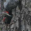 Pileated Woodpeckers - 2 Of The Nestlings - Looks Like The One Is Blocking The Other