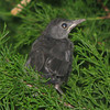 Juvenile Gray Catbird - Nested At End of Front Porch