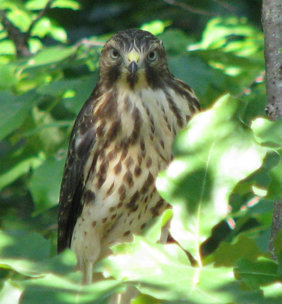 Juvenile Red-shouldered Hawk From Nest Behind Property